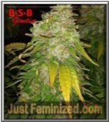 Where to Buy Amnesia Haze B-S-B Genetics Feminised Cannabis Seeds